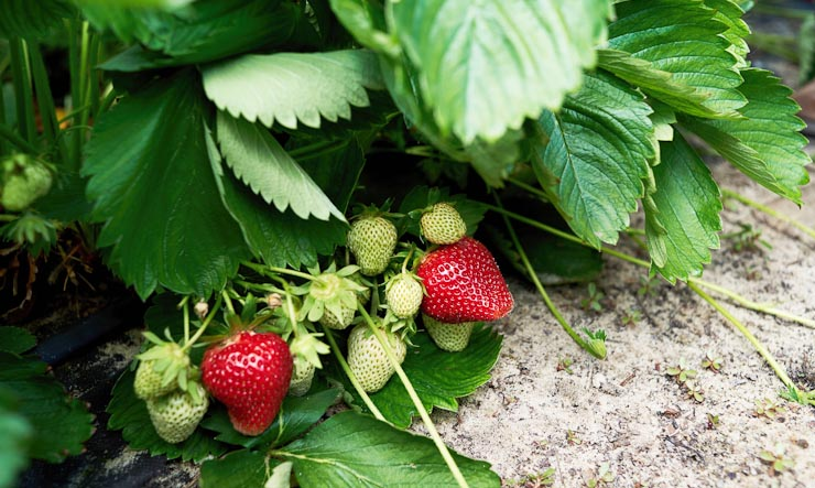 berry picking guide - pick your own berry farms in MN