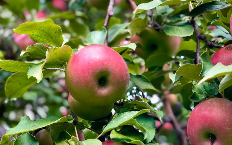 best apple orchards in the twin cities