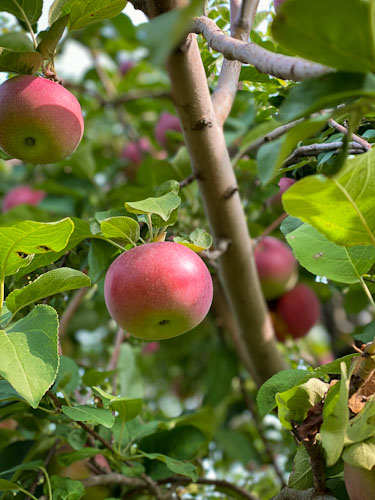 twin cities west metro best apple orchards